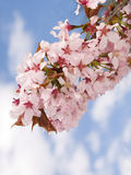 Branch of oriental cherry-tree Stock Photo