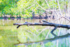 Branch over water in the mangroves Royalty Free Stock Image