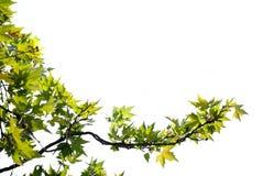 Branch på white royaltyfria foton