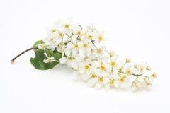 Branch of padus. (Prunus padus)  isolated on white Royalty Free Stock Photos