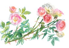 Branch of pale pink roses. Watercolor sketch, drawing on paper Royalty Free Stock Photography