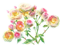 Branch of pale pink yellow roses. Watercolor, drawing on paper Stock Photos