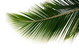 Branch palm tree Royalty Free Stock Image