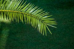Branch of palm tree. With drops of water Stock Photography