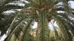 A branch of a palm tree close-up stock video