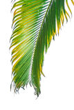Branch of palm tree isolated on white background Stock Photography
