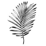 Branch of a palm tree sketch vector graphics. Monochrome black-and-white drawing Stock Image