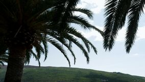 Branch of palm trees swaying in the wind in Sunny Montenegro. In high season stock video footage