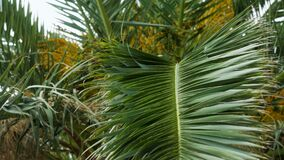 Branch of palm trees swaying in the wind in Sunny Montenegro. In high season stock video