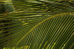 Branch of palms Royalty Free Stock Photo