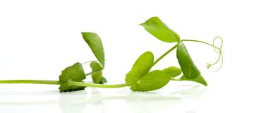 Branch of pea Royalty Free Stock Photos