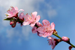 A branch of peach blossom Stock Photos