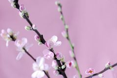 Branch of peach flowers Royalty Free Stock Photography