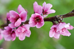 Branch with peach flowers Stock Photo