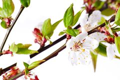 Branch of peach flowers Royalty Free Stock Photo