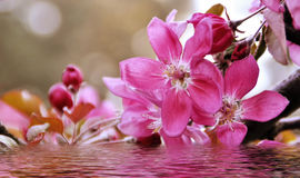 Branch with peach flowers close-up with a reflection in the water Royalty Free Stock Images