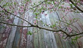 Branch of peach tree with flowers on background of old boards stock photography
