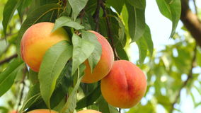 Branch of peach tree with ripe fruits. Camera moves up along peach tree branch and stops focusing on few ripe orange-yellow peaches, light wind blowing, blue sky stock footage