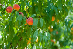 Branch with peaches Royalty Free Stock Photography