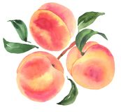 Branch with peaches. Watercolor illustration. Branch with peaches. Watercolor botanical illustration vector illustration