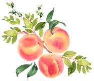 Branch with peaches. Watercolor illustration stock illustration