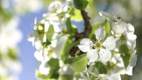 Branch of a pear tree with blossoming flowers close up backlit by spring morning sun on the blue sky background. Branch of a pear or apple tree with blossoming stock video footage