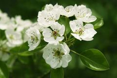 Branch with pear blossom Stock Photo