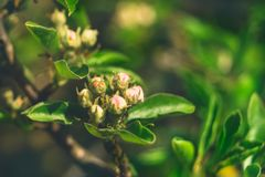 A branch of pear with buds flowers in spring sunny day.Concept of the awakening of nature royalty free stock photos