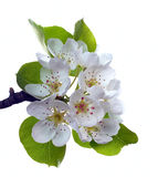 Branch of pear flower Royalty Free Stock Image