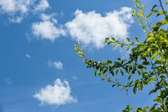 Branch of a pear tree against blue sky with white clouds Stock Image