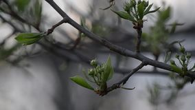 Branch of pear tree with buds flowers at dusk. Selective focus stock footage