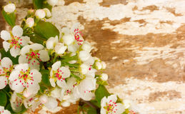 Branch of pear tree Royalty Free Stock Photo
