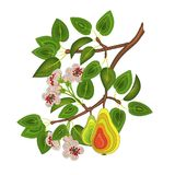 A branch of pear tree with leaves, flowers and pears. Element for decoration. Vector EPS10 Royalty Free Stock Photo
