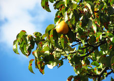 Branch of a pear tree Stock Photo