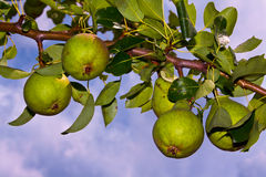 Branch with pears Stock Photo