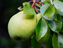 Branch with pears Royalty Free Stock Photos