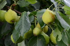 Branch with pears Royalty Free Stock Photography
