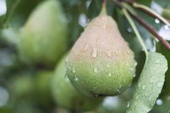 Branch of Pears Royalty Free Stock Image