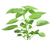 Branch of pepper Stock Photo
