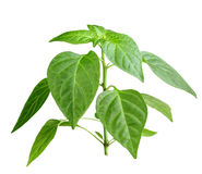 Branch of pepper Stock Image