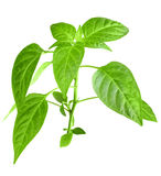Branch of pepper Royalty Free Stock Images