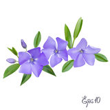 Branch of Periwinkle flowers Royalty Free Stock Images