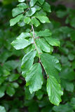 Branch of a Persian Ironwood. (lat. Parrotia persica Royalty Free Stock Images
