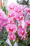 Phalaenopsis orchid in the garden Royalty Free Stock Images