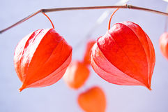 Branch of physalis. Branch of bright red chinese lily lantern (physalis Royalty Free Stock Image