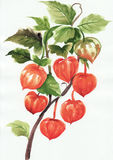 A branch of physalis. Original style watercolor painting stock illustration