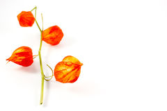 A branch of physalis Stock Photography