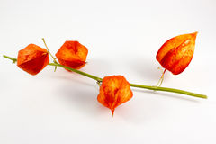 A branch of physalis Stock Images