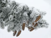 Branch of pine. A branch of pine with cone and snow covered royalty free stock photo