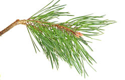 Branch  pine Stock Photos